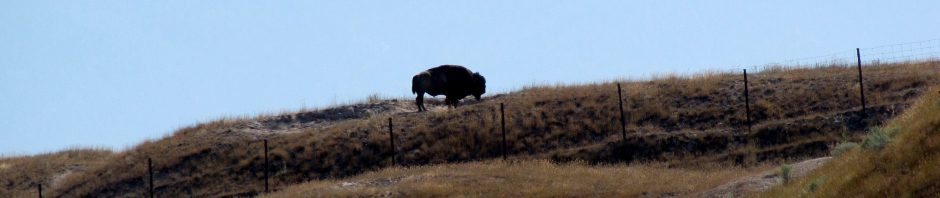 Oh give me a home where the buffalo roam…..